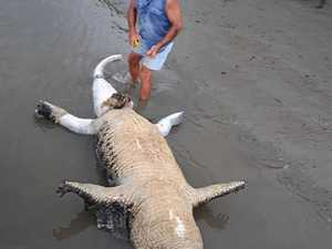 Mystery surrounds death of monster croc