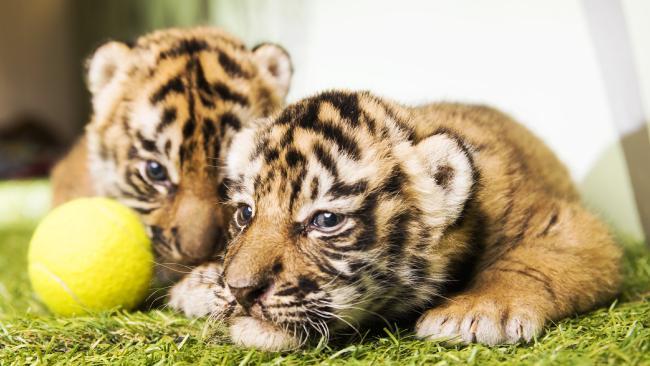 Dreamworld's tiger cubs. Picture: Nigel Hallett