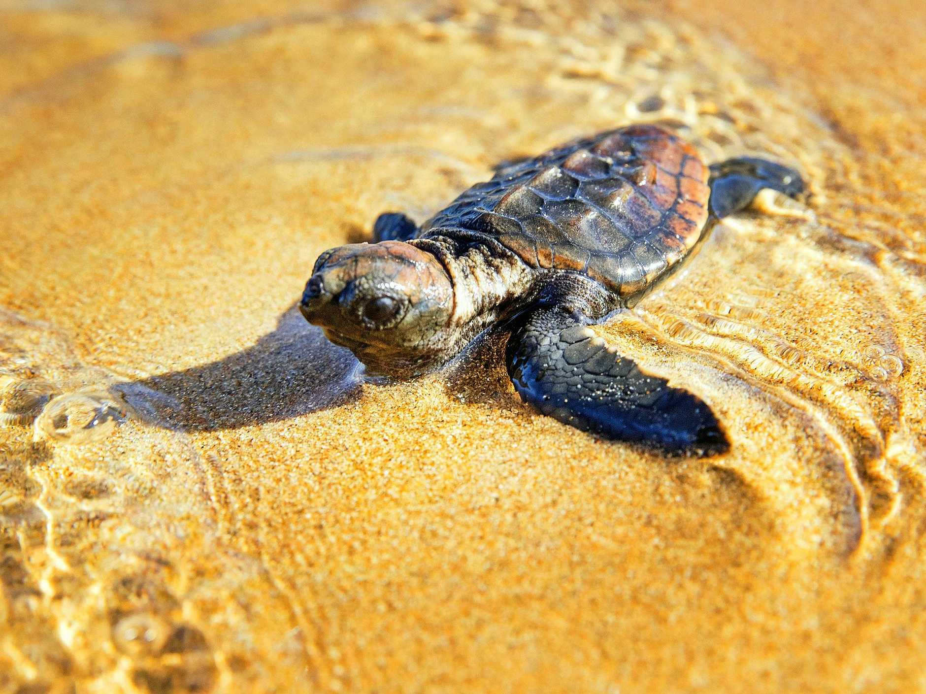 A turtle hatchling makes a break for the ocean after climbing free from their nest at Mon Repos.