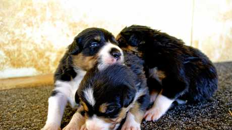 Kaden Working Border Collies pups