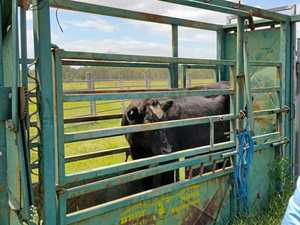 Man charged over theft of cattle from saleyard