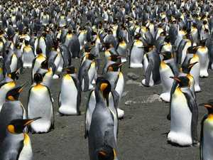 King penguins on the brink