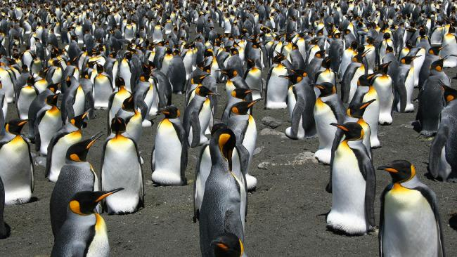 Global warming is on track to wipe out 70 per cent of the world's king penguins Picture: AFP PHOTOS