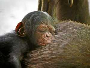 Tourists set to go ape for Rocky's newborn chimp