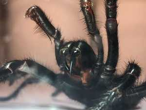 """Colossus"" funnel web spider introduced at park"
