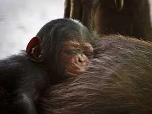 Baby chimp name