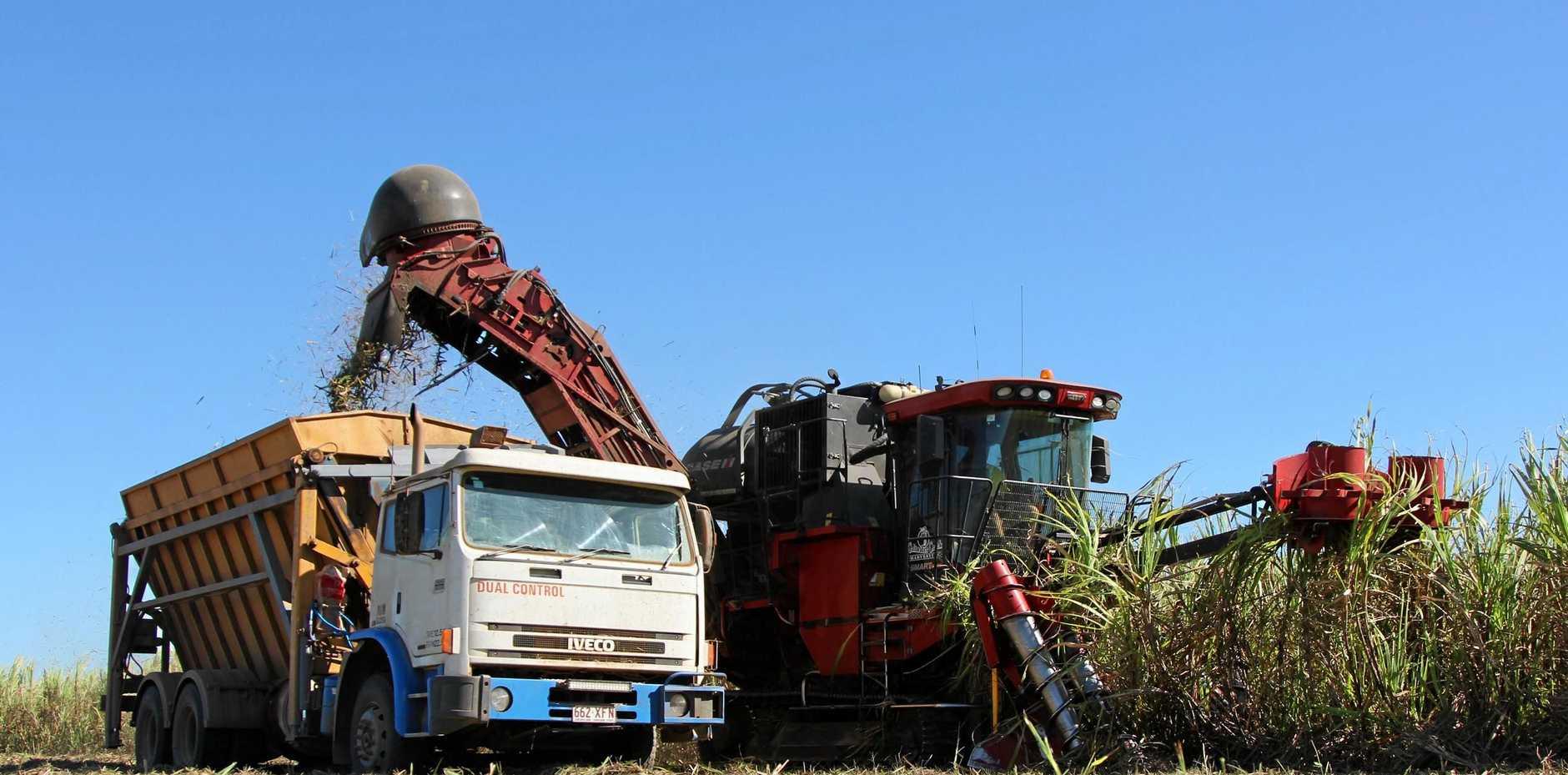 Sugar cane harvesting.