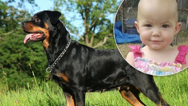 Rottweiler Killed Girl In Her Pram News Mail