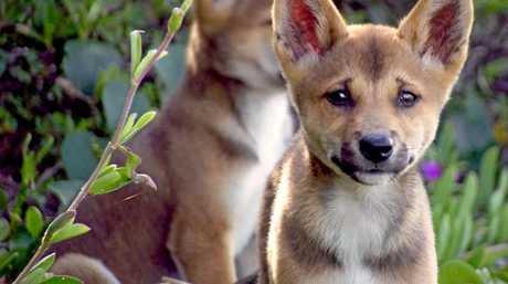 A dingo pup on Fraser Island.