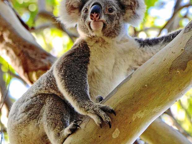 SAVE US: Noosa koalas need help.