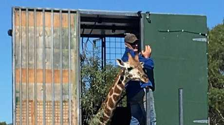 As part of the Australasian Regional Breeding Program for Giraffes, 19-month-old Kebibi is leaving her home at National Zoo to join the current herd of 8 giraffes at Australia Zoo.