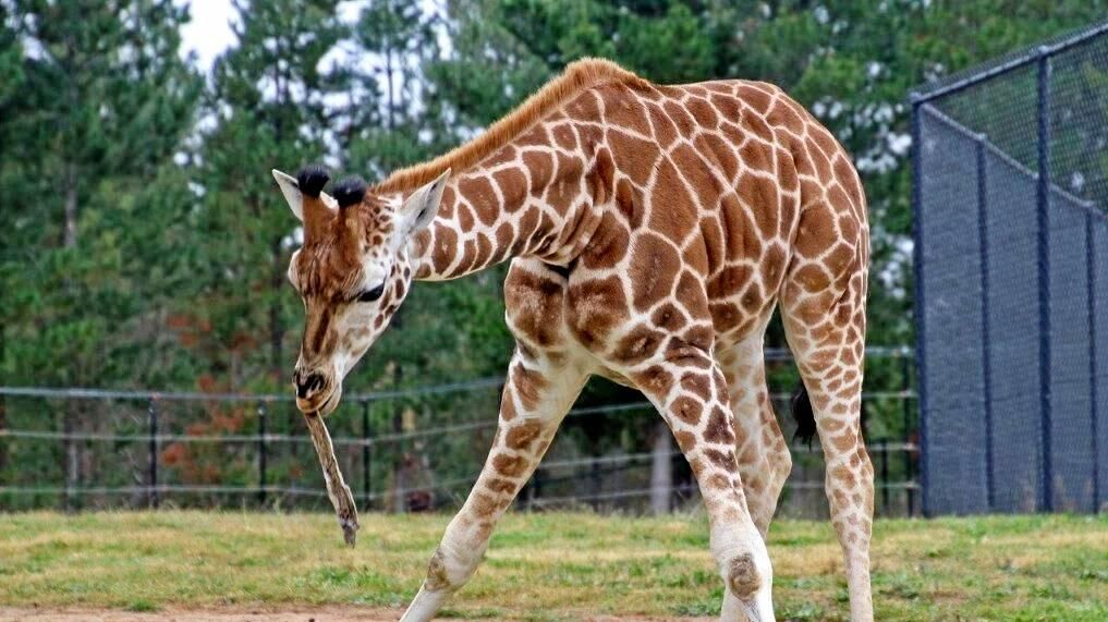 CAUTION TALL LOAD: Kebibi the giraffe is travelling from Canberra's National Zoo and Aquarium to the Coast's Australia Zoo.