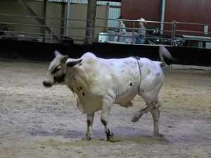 Bull put down after Rocky rodeo leg break
