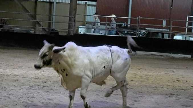 Bull euthanized after Rocky rodeo leg break.