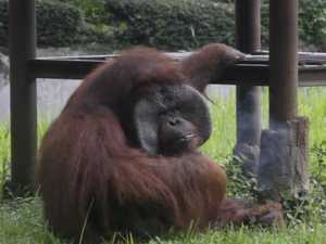 Zoo condemed over smoking orangutan