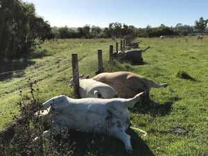 Six cattle killed in 'freak' lightning strike