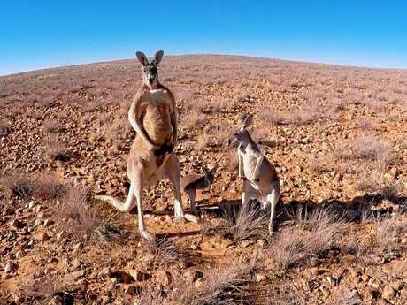 A family of kangaroos portrayed in the documentary Kangaroo: A Love - Hate Story (2017) by Michael and Kate McIntyre.