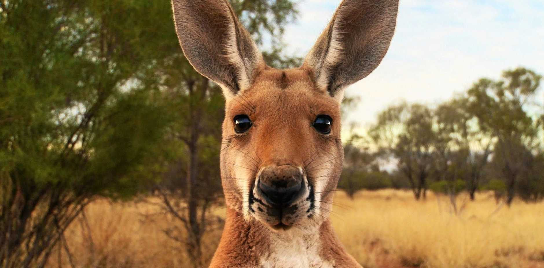 A kangaroo in the documentary Kangaroo: A Love - Hate Story (2017) by Michael and Kate McIntyre.