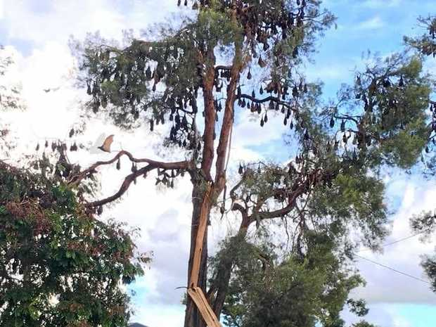 The amount of bats roosting on trees has caused limbs to break off.