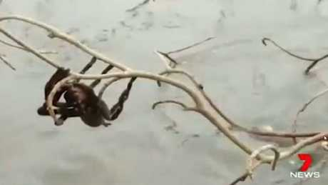 The spider was rescued and placed in a tree in the town centre. Picture: Andrew Giliberto/Channel7.