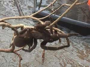 Monster spider rescued