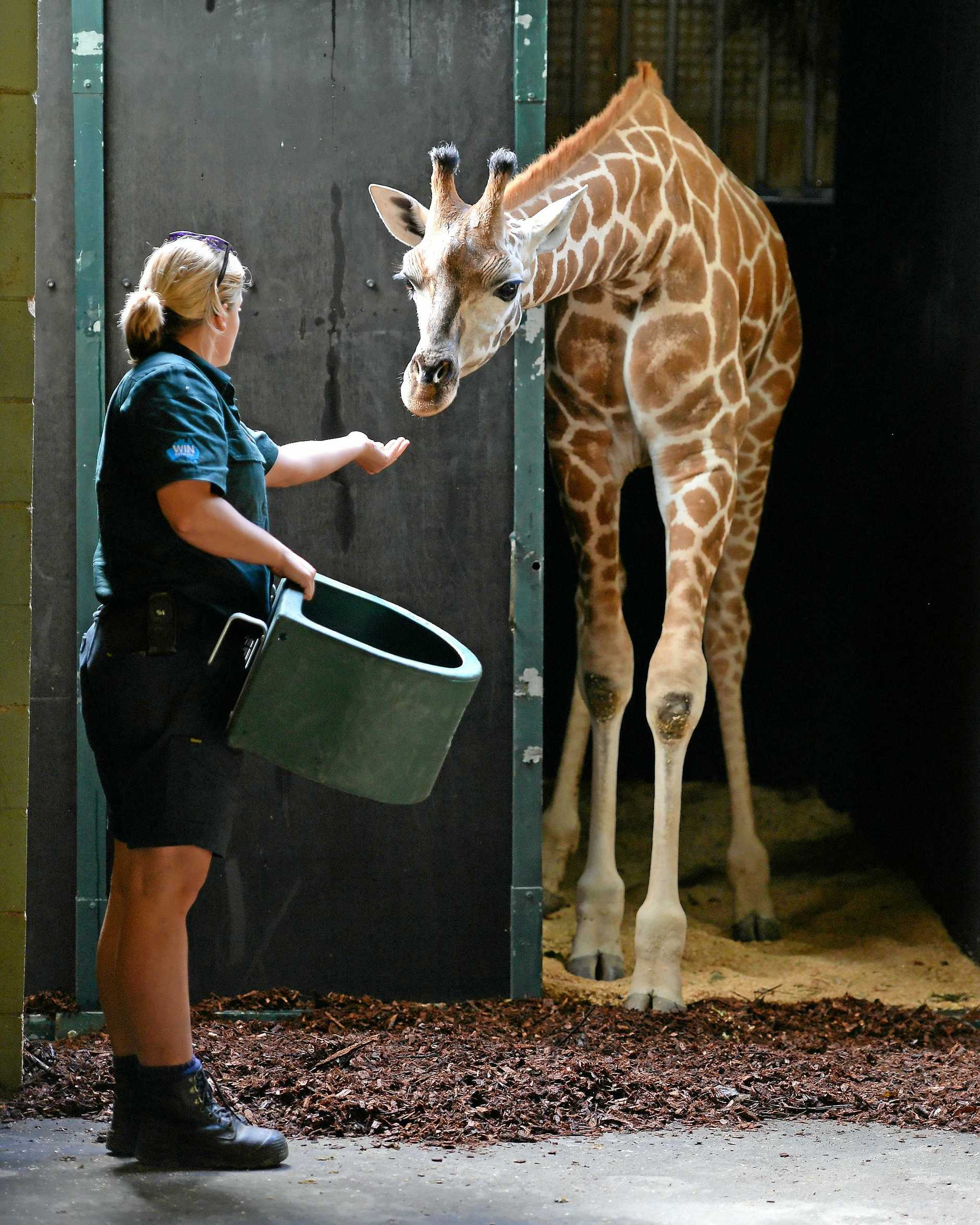 Kebibi. a one and a half-year-old sub adult giraffe arrived from National Zoo and Aquarium Canberra on Friday morning to her new and excited keepers at the Beerwah Zoo.