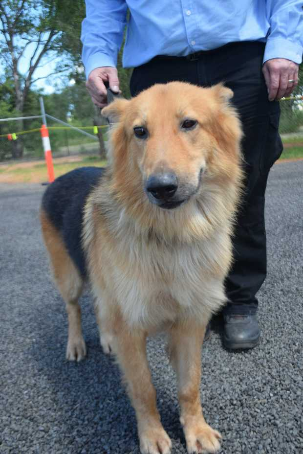Long haired German Shepherd, male, approx 6 years old
