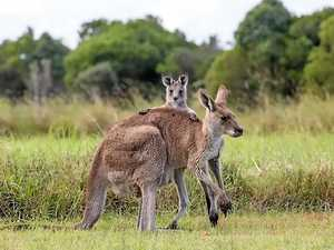 Developers closing in on kangaroos trapped at Springfield