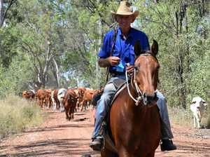 Charity cattle drive is bigger than it's ever been