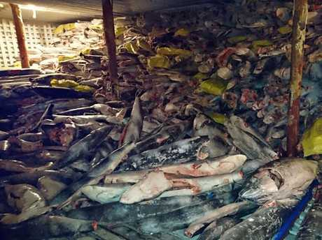 This picture released on August 14, 2017 by the Environment Ministry of Ecuador shows frozen fish in a Chinese ship confiscated by the Navy in the waters of the Galapagos marine reserve.