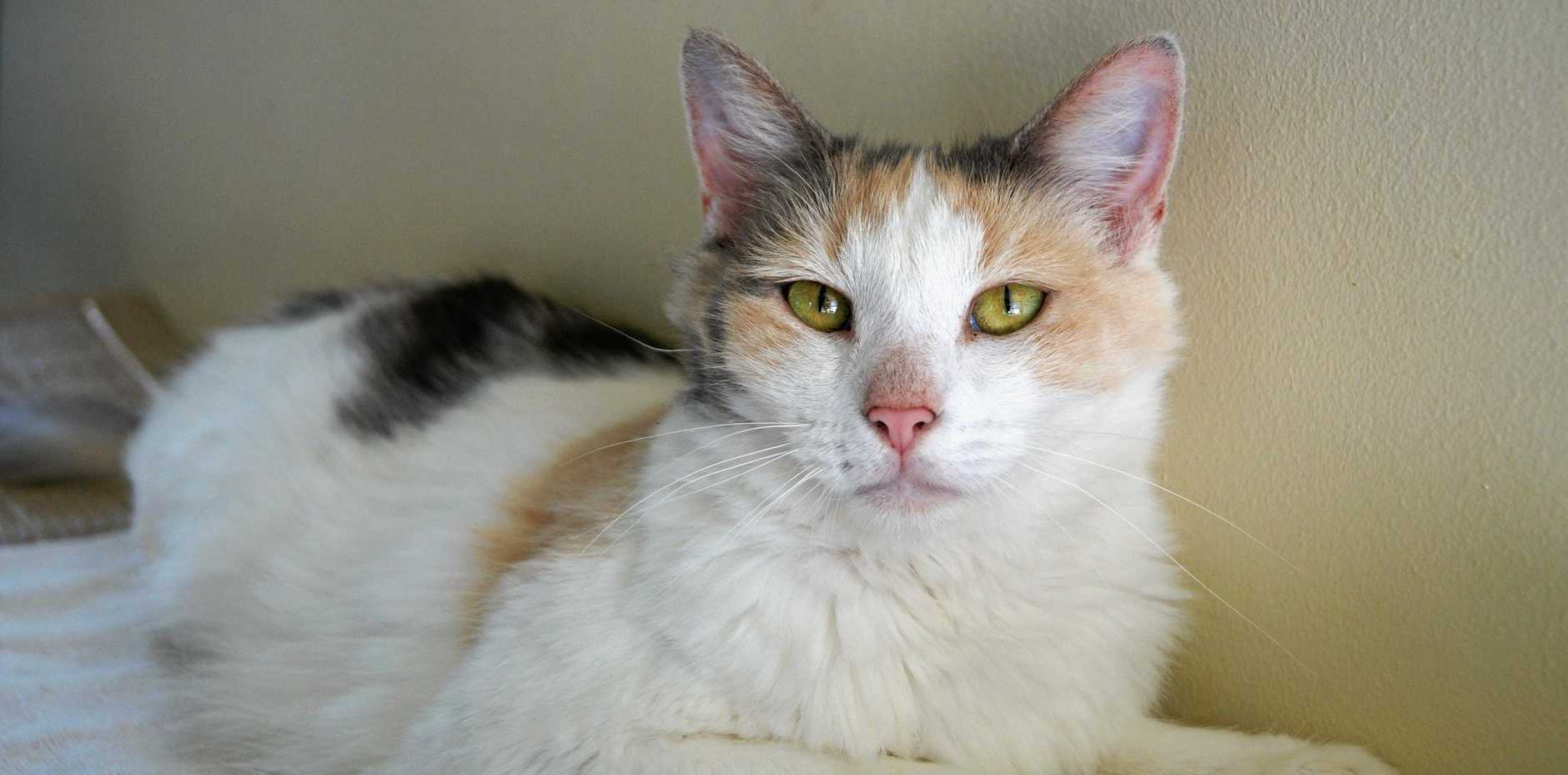 CUTE: Lucy is affectionate and gets along with other cats.