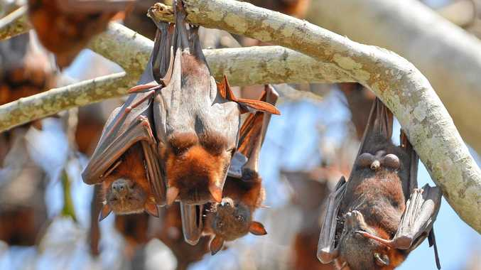 Flying foxes have taken a park in the Clarence Valley town