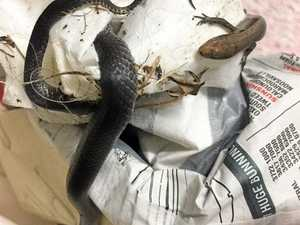 Snake and lizard in sticky situation