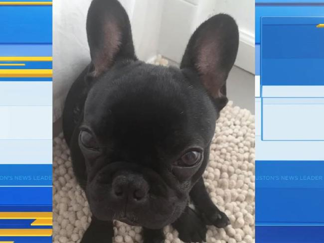 Kokito the french bulldog died on a United Airlines flight. Pictured: ABC13
