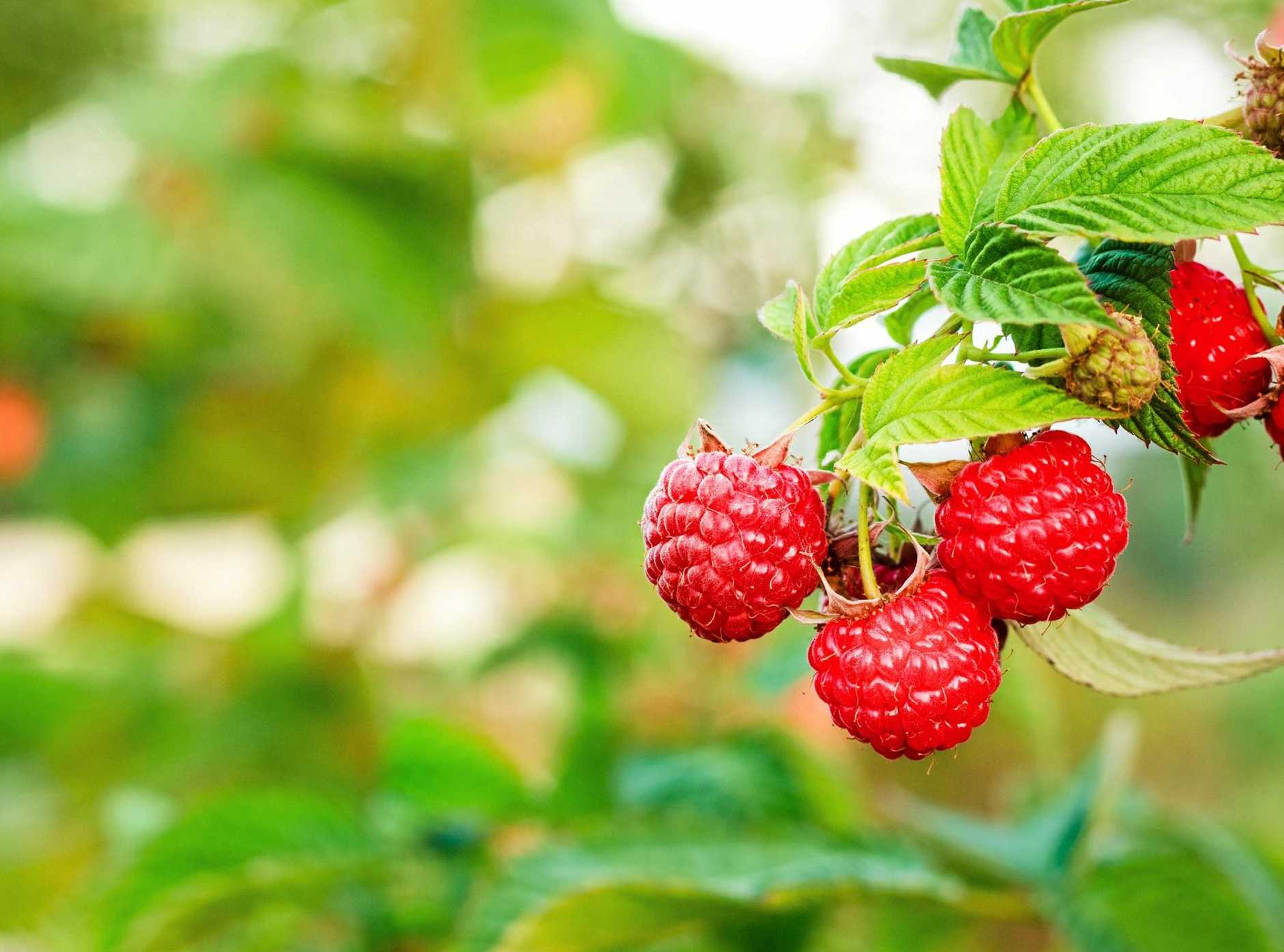 BERRY GOOD: Raspberries grow in a cool or temperate climate.