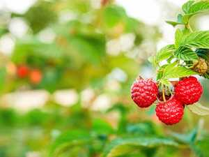 Try growing raspberries and rosella for autumn