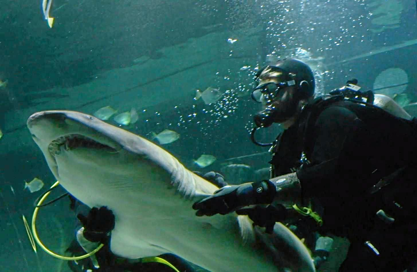 Sea Life Sunshine Coast has welcomed three Grey Nurse sharks back to the Sunshine State, becoming the only tourist attraction in Queensland to house the endangered species.