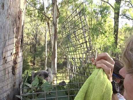 The Koala being released back in to the wild.