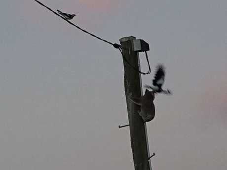 A koala that was stuck up a power pole for two days was swooped by magpies.