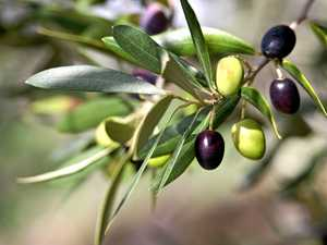 Create your own olive grove