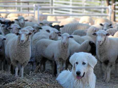 SHEEP PROTECTOR: Maremma dog minding Merino sheep.