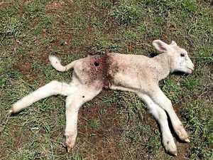 Wild dogs kill lambs and livelihood