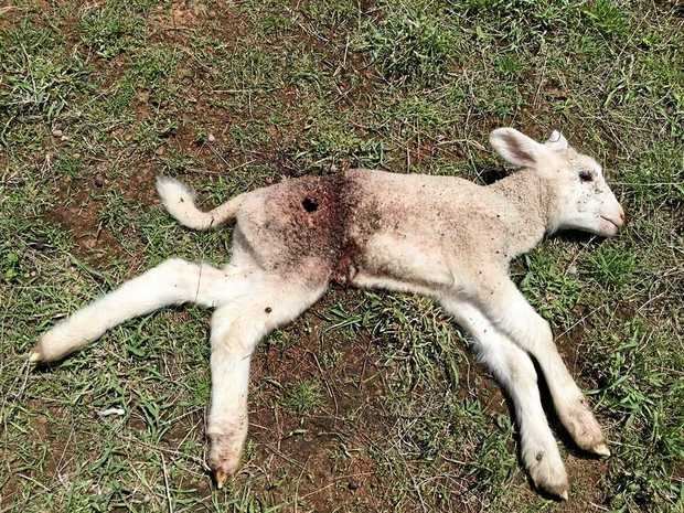 DEVASTATING: A lamb after being attacked by wild dogs at Meandarra.