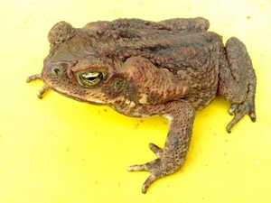 The best (and worst) ways to kill a cane toad