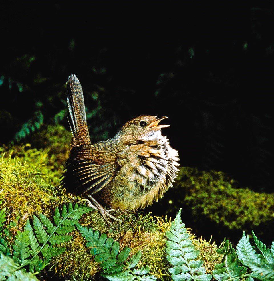 The endangered Rufous Scrub-bird.