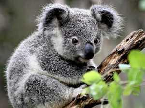 Koalas, wakeboarding, K'cliff skate park on council's agenda