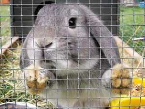 Call for 'archaic' Queensland bunny ban to be removed