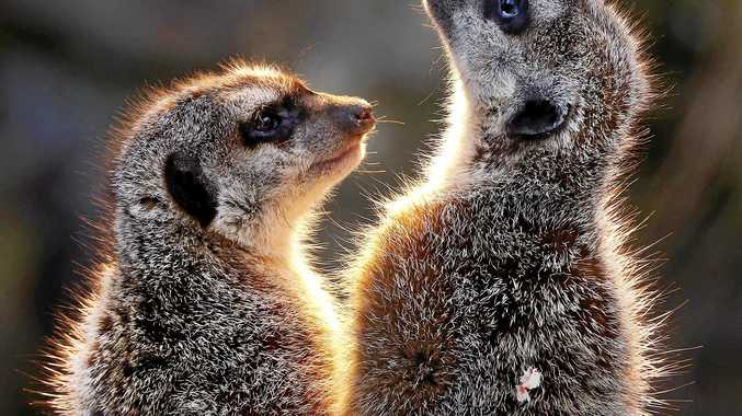 HELLO: Meerkats will be joining the Snakes Downunder family by the end of next month.
