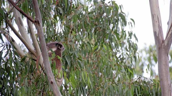 HAZARD TO WHO: Marianne Irvine spotted a koala in trees on a property in the vicinity of where the removal of hazard vegetation is expected to take place.