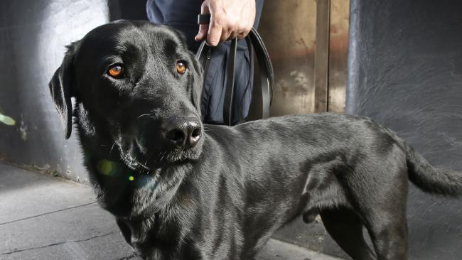 Police are unleashing dogs on nightclubbers to weed out drugs from Melbourne's nightlife scene. Police are also hiding in alleyways and side streets ready to pounce on those jumping from lines to avoid being caught. Narcotics Detection Dog 'Xeven' with his handler (can't ID) ready to pounce in the back alleys. Picture: David Caird